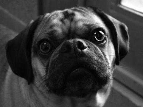 Pug Image