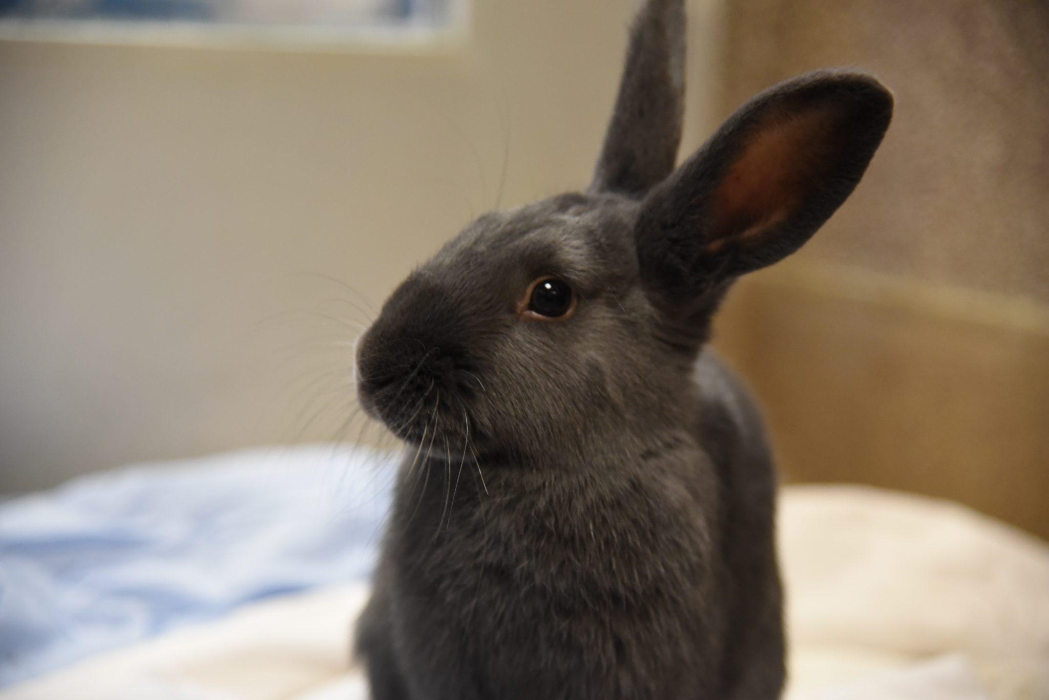 pet-rabbit
